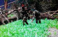বান্দরবান :: ফের সেনাবাহিনীর অভিযানে বিপুল পরিমাণ নিষিদ্ধ পপি ক্ষেত (আফিম) ধ্বংস ও একজনকে আটক করেছে সেনাবাহিনী