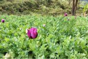 বান্দরবানের কেওক্রাডং পাহাড়ের ৪টি পপি ক্ষেত ধ্বংস করেছে র্যাব-৭