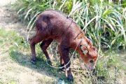 বান্দরবান : বিরল প্রজাতির বন্য ছাগল উদ্ধার